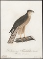 Accipiter nisus - 1800-1812 - Print - Iconographia Zoologica - Special Collections University of Amsterdam - UBA01 IZ18300083.tif