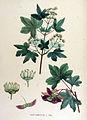 Acer campestre — Flora Batava — Volume v15.jpg