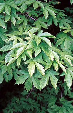 Griechischer Ahorn (Acer heldreichii), Blätter