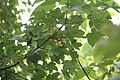 Acer pseudoplatanus - Javor (1).jpg