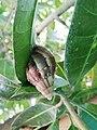 Achatina fulica en Colombia.jpg