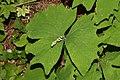 Achlys triphylla 0974.JPG