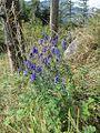 Aconitum variegatum nasutum-Oberoesterreich, Weißenbach am Attersee, Weg auf den Schoberstein-bE-MK-24948a.jpg
