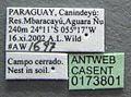 Acromyrmex nigrosetosus casent0173801 label 1.jpg