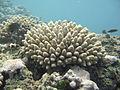 Acropora coral ffs.jpg