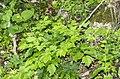 Actaea spicata plant (06).jpg