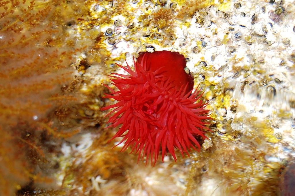 Tomàquet de mar sota l'aigua