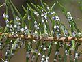 Adelgid on douglas fir - Flickr - S. Rae.jpg