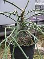 Adenia globosa1.jpg