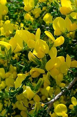 Adenocarpus telonensis en flor