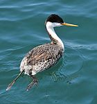 Aechmophorus clarkii -Monterey Bay, California, USA -swimming-8.jpg