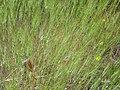 Aegilops triuncialis Habito 2010-5-26 DehesaBoyaldePuertollano.jpg