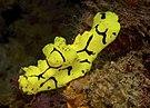 Aegires gardineri Papua New Guinea by Nick Hobgood-001.jpg