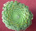 Aeonium tabuliforium 2 spirals 8.jpg