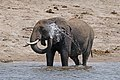 African bush elephant (Loxodonta africana) spraying water.jpg