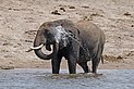 African bush elephant (Loxodonta africana) spraying water.jpg