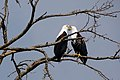 African fish eagles.jpg
