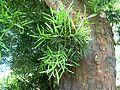 Afrocarpus falcatus, loof en bas, LC de Villiers-sportsentrum.jpg