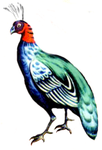 Afropavo congensis.png