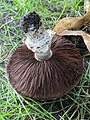 Agaricus campestris IMG 20200912 170107.jpg