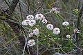 Agathosma sp. in Western Cape fynbos-South Africa.jpg