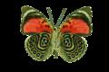 Agrias claudina1.png