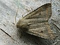Agrochola lota - Red-line Quaker - Пухоногая совка ивовая (27235977498).jpg