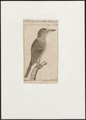 Alcedo euryzona - 1772-1829 - Print - Iconographia Zoologica - Special Collections University of Amsterdam - UBA01 IZ16800359.tif