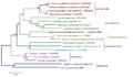 Aleurocystidiellum-Minimum Evolution.png