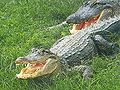 Alligatoren (Alligator mississippiensis) in Florida.jpg