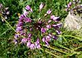Allium lusitanicum ENBLA01.jpg