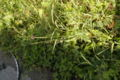Allium scorodoprasum (3).jpg