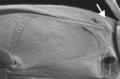 Allodessus megacephalus epipleuron.png