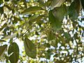 Alnus nepalensis (6364064339).jpg
