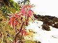 Aloe mossurilensis close to the beach (9587040469).jpg