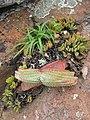 Aloe suprafoliata (4419212951).jpg