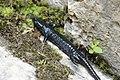 Alpine salamander - Salamandra atra (42803110300).jpg