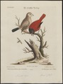 Amadina sinensis - 1700-1880 - Print - Iconographia Zoologica - Special Collections University of Amsterdam - UBA01 IZ15900183.tif