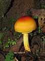 Amanita hemibapha from Alaram WLS during the Odonate Survey 2015 (1).jpg