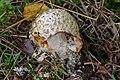 Amanita muscaria - fly agaric - fly amanita - Roter Fliegenpilz - 00.jpg