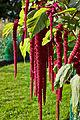 Amaranthus caudatus-IMG 9190.jpg