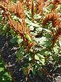 Amaranthus hypochondriacus (Amaranthaceae) plant.JPG