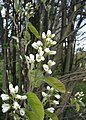 Amelanchier-spicata-flowers.jpg