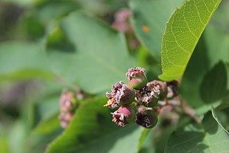 Amelanchier alnifolia - Unripe fruit