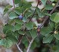 Amelanchier utahensis Utah serviceberry fruit.jpg