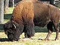 American Bison - panoramio.jpg