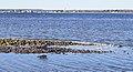 American Herring Gull at Napatree Point (52308).jpg
