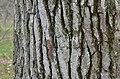 American Sweetgum Liquidambar styraciflua Bark Horizontal.JPG