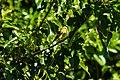 American goldfinch (37153497535).jpg