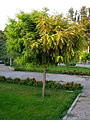 Amin Al-Islami Garden - tress at morning 2.JPG